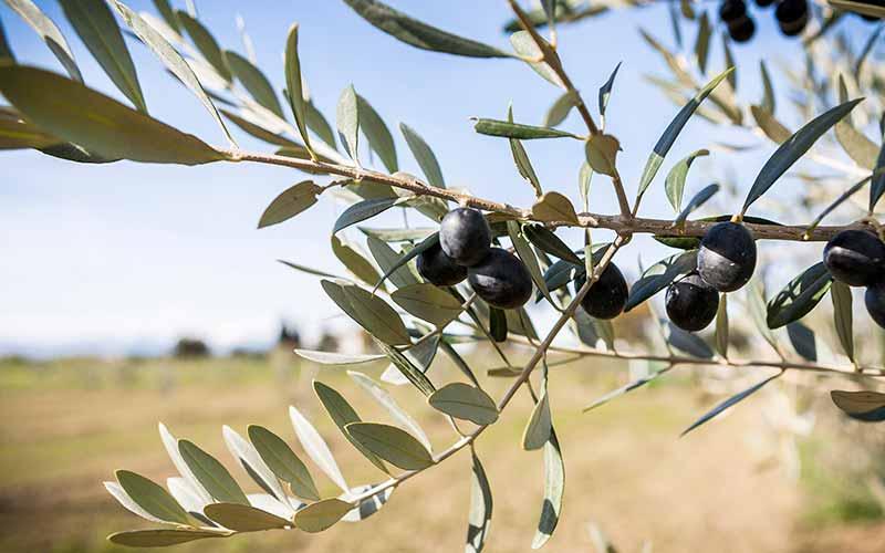 olive-italiane