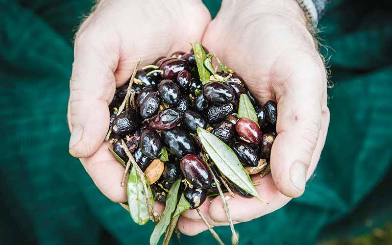 raccolta-olive-italiane